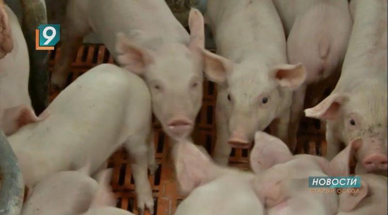 Проблема специфических запахов от свиноводческих комплексов будет решена научными методами